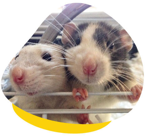 Two rats in cage
