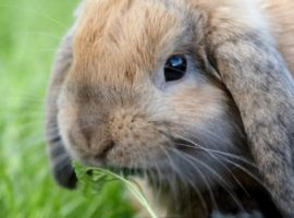 Lop-Eared Rabbits and Ear Disease