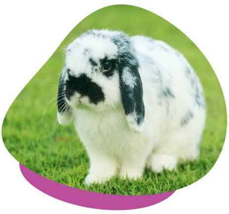Black white lop rabbit