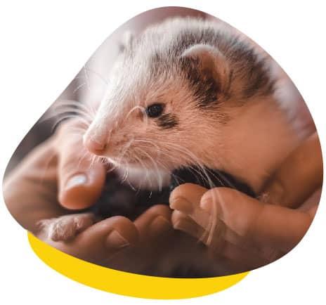 Holding ferret