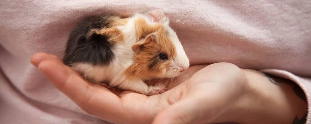 Hand raising baby guinea pig