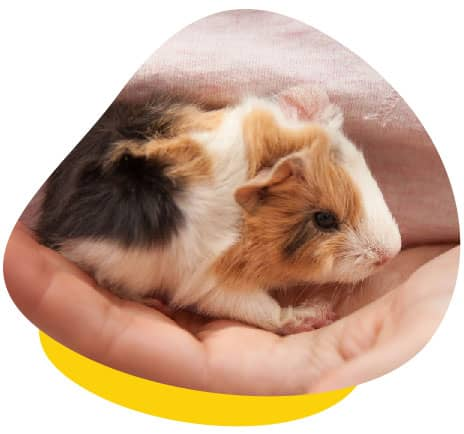 Holding baby guinea pig