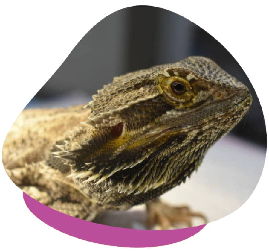 ScaleStart Package For Lizards