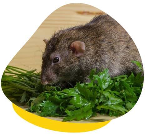 Rat eating greens