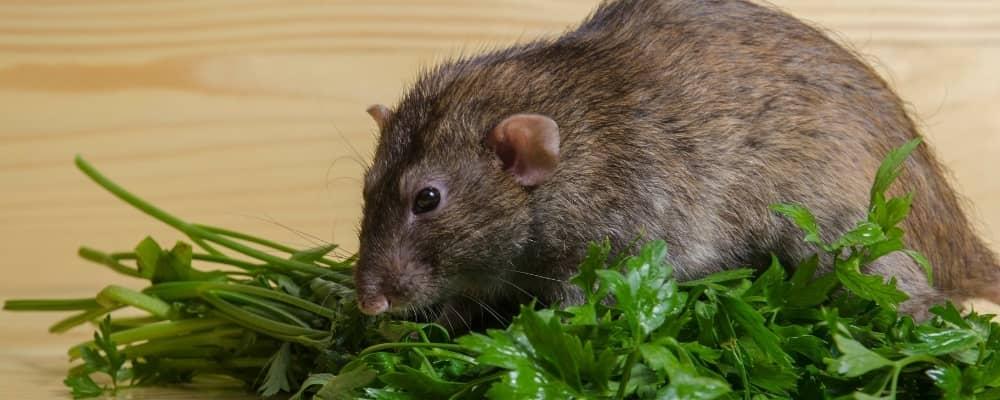 Rat feeding guide
