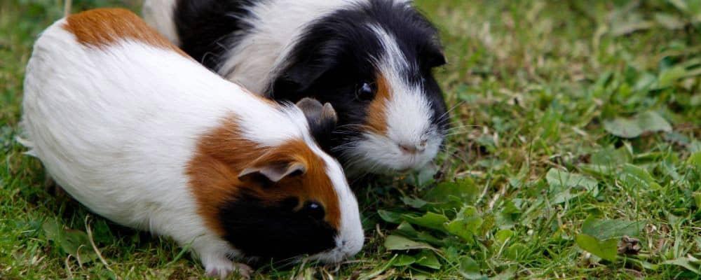 Guinea pigs faecal impaction