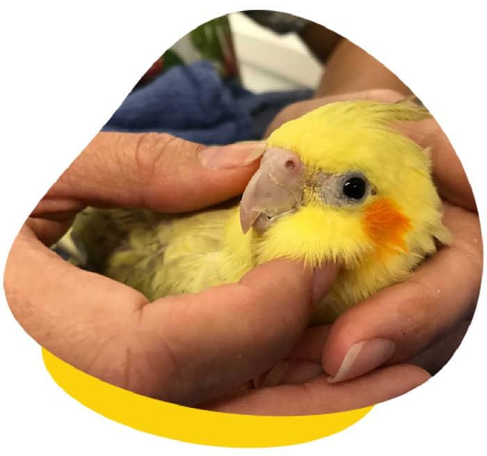 Health Check Cockatiel