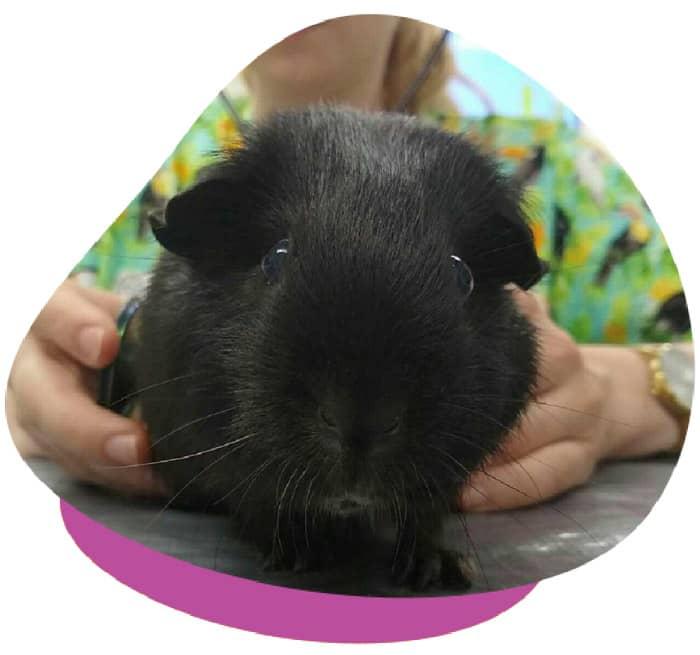 Health Check Guinea Pig