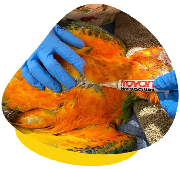 Microchipping bird