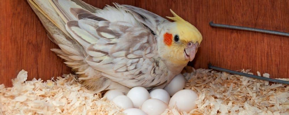 chronic egg