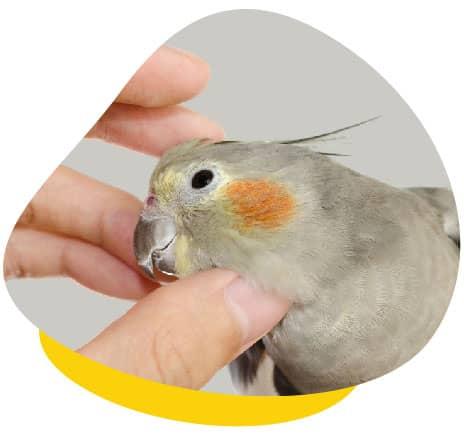 Cockatie head scratch