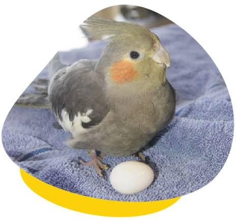 cockatiel egg