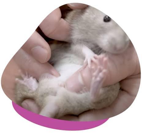Sexing small mammal