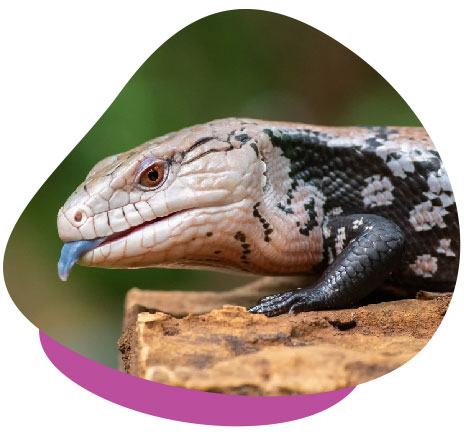 Caring for Blue-Tongued Skinks