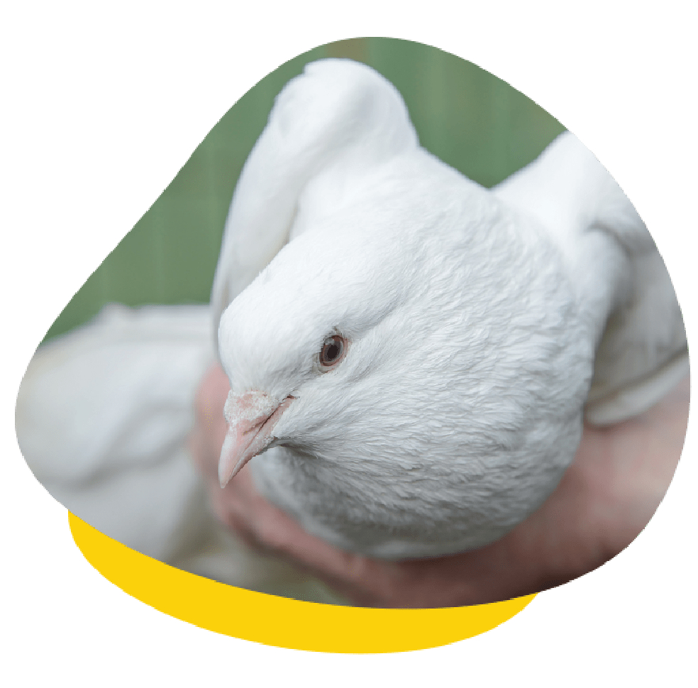 Pigeon and Dove Care