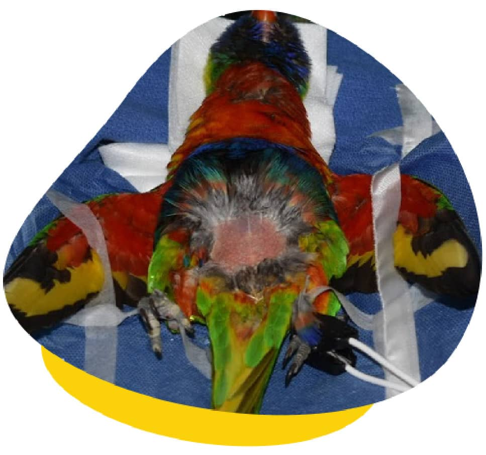 Avian liver disease