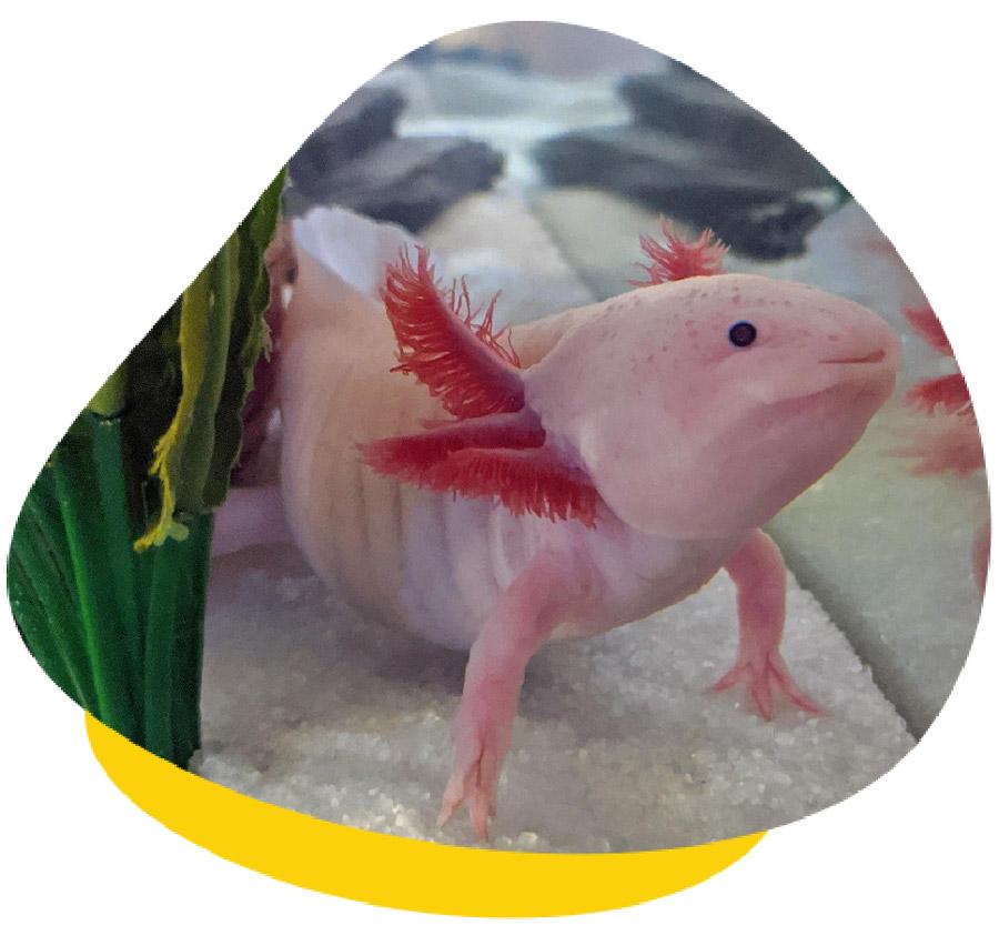 Bloat in Axolotls