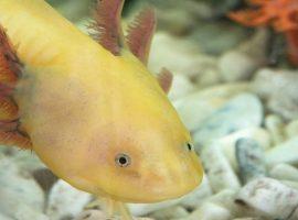 Axolotl Bloat