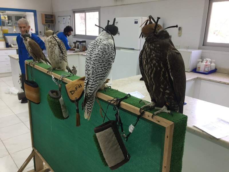 Hooded Falcons